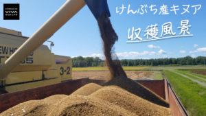 けんぶち産キヌア収穫風景